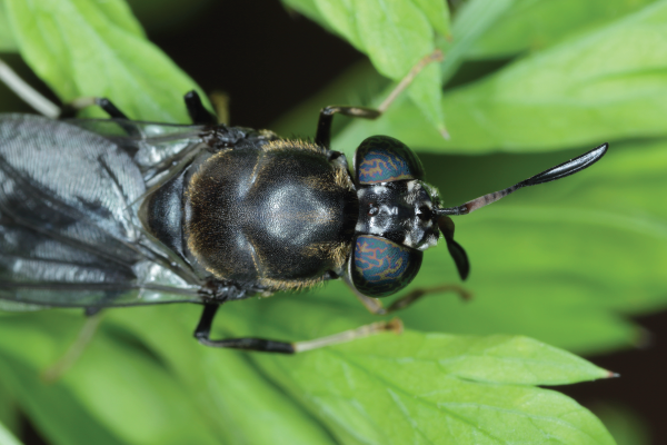 adult-black-soldier-fly-hermetia-illucens
