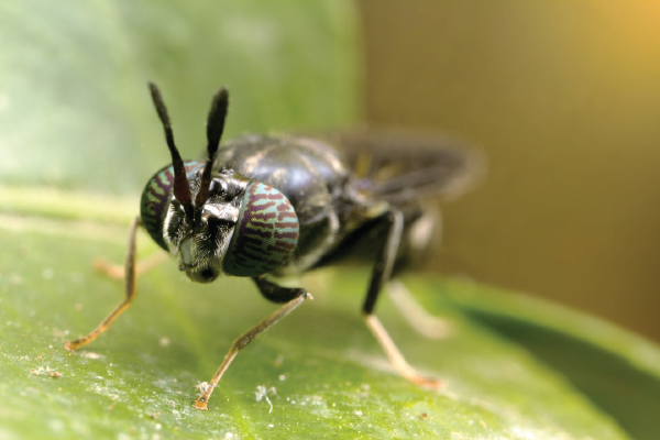 what-is-a-black-soldier-fly